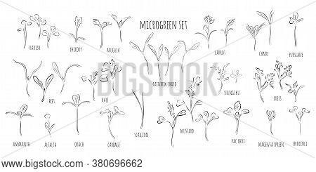 Big Vector Set Of Microgreens. Herbs - Carrots, Chicory, Purslane, Radishes, Beets, Shungiku, Cabbag