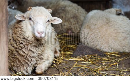 The Sheep Are In Their Shepherd. Farm, Pets