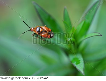 A Garden Bedbug With An Orange Heart On Its Back Sits On A Green Plant.