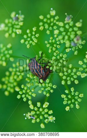 Red Striped Bedbug On The Inflorescence Of Parsley. A Bug On A Plant.