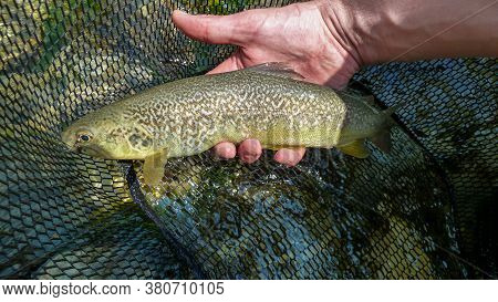 A Fisherman Holding A Rare Marble Trout Caught On A Fly From The Soca River In Slovenia