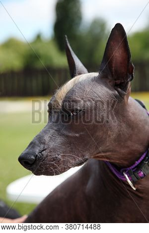 Close Up Portrait Of Young Playful Dog Looks Attentively At Something With Opened Mouth. Animal Of R