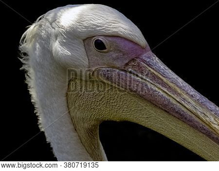 Great White Pelican (pelecanus Onocrotalus) Also Known As Eastern White Or Rosy Pelican