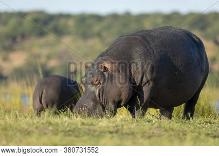 Two Hippo Out Of Water Eating In Yellow Afternoon Light By River In Chobe National Park Botswana