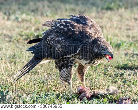Juvenile Red-tailed Hawk Feeding On Dead Squirrel. Santa Clara County, California, Usa.