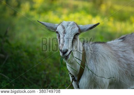Goats Crawling On A Meadow At Sunset