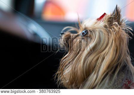 Dog Gaze, With Big Eyes.dog Gaze, With Big Eyes