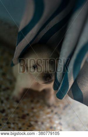 Cute Little Golden Colored Labrador Retriever Puppy