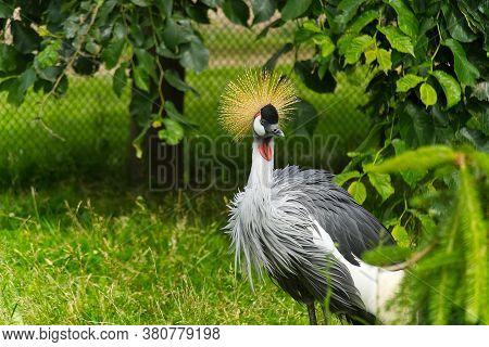 Grey Crowned Crane - Balearica Regulorum Gibericeps. African Crowned Crane - Uganda National Bird. G