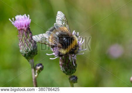 Buff-tailed Bumblebee (bombus Terrestris) On Flower