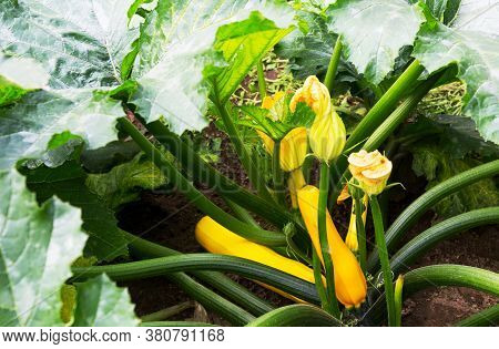 Zucchini Plant.  Zucchini With Flower And Fruit In Field. Green Vegetable Marrow Growing On Bush. Co
