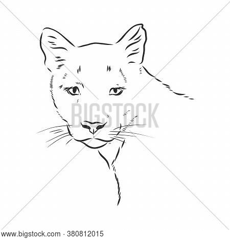 Hand-drawn Vector Illustration Portrait Of Puma. Sketch Style. Use For Tattoo, Poster, Postcard, Web