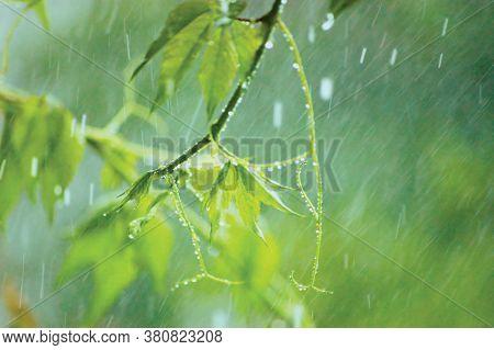 New Virginia Victoria Creeper Leaves, Early Summer Rain Raindrops, Wet Fresh Young Woodbine Leaf Rai