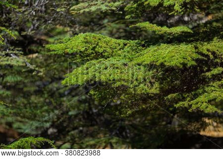 Branches Of The Lebanon Cedar Tree Close-up. Beautiful Juicy Green Coniferous Background. Evergreen