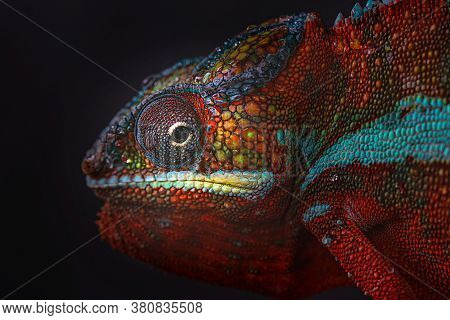 Close Up Of A Vividly Colored Chameleon, Macro, Photography Of A Chameleon's Eyes, Portrait.