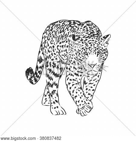 Jaguar. Hand Drawn Sketch Illustration Isolated On White Background. Jaguar Animal, Vector Sketch Il