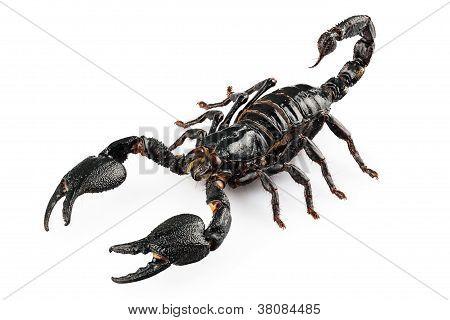 Black scorpio species Heterometrus cyaneus from Java island in Indonesia isolated on white background poster