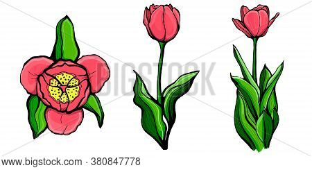 Set Of Red Tulips.tulip On A Stalk With Leaves. Hand-drawn Vector Illustration.botanical, Floral Des