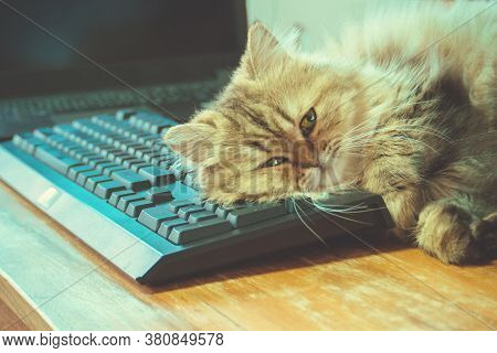 Lazy Chinchilla Persian Kitten Cat Sleep Over Black Keyboard And Computer Notebook On Wooden Working