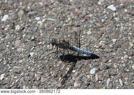 The Picture Shows Black-tailed Skimmer On The Street