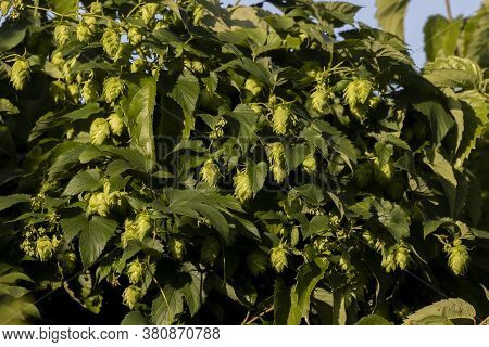 Hops. The Flowers  Are Used Primarily As A Bittering, Flavouring, And Stability Agent In Beer, To Wh