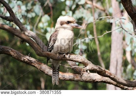 Kookaburra Bird, The Native Australian Species Sits In A Tree Making Its Famous Laughing Call.