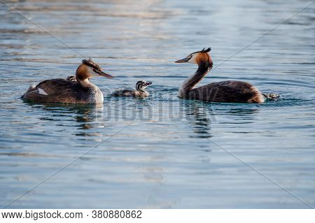 Family Of Great Crested Grebe With Young Juvenile Swimming In Lake Geneva, Switzerland. Cute Podicep