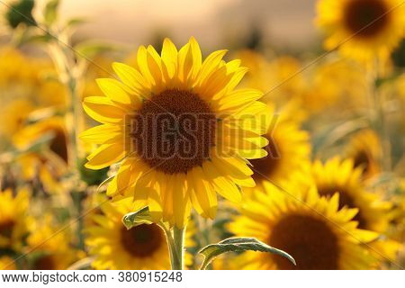 Sunflower Nature field Nature background Nature Sunflowers Nature flower Nature flower garden flower Nature background Nature flower Nature sunset Nature flower background flower sunrise Nature background flower Nature flower sun flower Nature background.