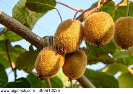 New Harvest Of Golden Or Green Kiwi, Hairy Fruits Hanging On Kiwi Tree In Orchard In Italy