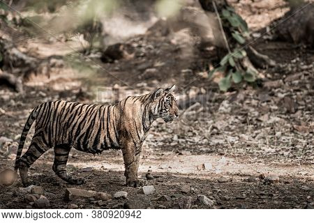 Fine Art Image Of Young Wild Female Tiger Of Ranthambore Shifted To Mukundra Hills Tiger Reserve Bec