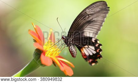 black butterfly flying over a colorful flower looking for pollen, this elegant and fragile insect from the Lepidoptera family has fast wings like a humming-bird, garden in Chiang Mai, Thailand