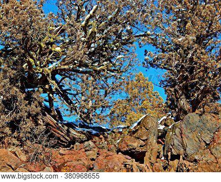 Juniper Design - Juniper Trees In Winter At Tumalo Canal Trailhead - North Of Tumalo, Or