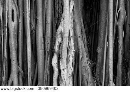 Close up shot of Cypress tree trunk exterior