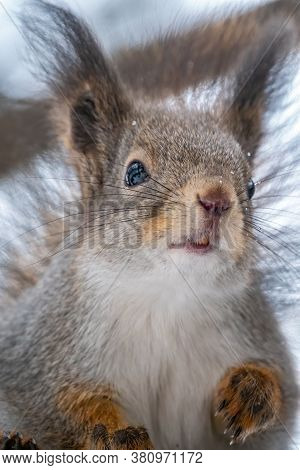 Portrait Of A Squirrel In Winter Or Autumn. The Squirrel Sits On A Branches In The Winter Or Autumn.