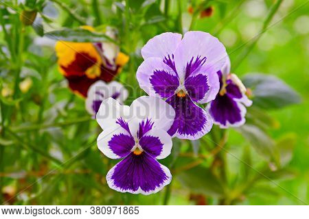 Blue Pansy Viola Flower In Garden, Viola Tricolor, Viola Cornuta. Close Up