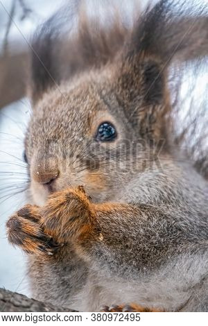 Portrait Of A Squirrel In Winter. The Squirrel Sits On A Branches In The Winter Or Autumn. Eurasian