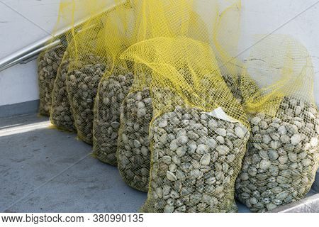 Group Of Net Bag Of Fresh Clam. Seafood From Galicia, Spain. Copy Space