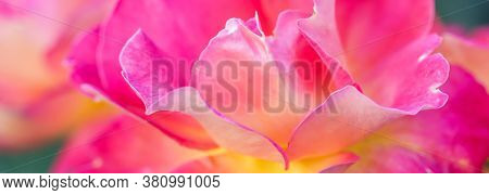 Botanical Concept, Invitation Card - Soft Focus, Abstract Floral Background, Pink Yellow Rose Flower