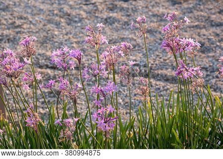 Pink Purple Wildflowers At Tzia, Kea Island, Greece. Blur Background.