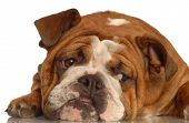 red brindle english bulldog isolated on white background poster