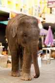 A cute baby elephant walks around downtown Bangkok trained to beg tourists for food poster
