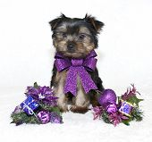 Sweet little Yorkie puppy wearing a purple Christmas bow with purple Christmas decor. poster