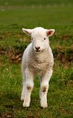 a little cute spring lamb looking at the camera poster