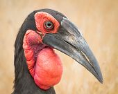 The southern Ground Hornbill is turkey and they have amazing eyelashes.  Fun and Playful insect eaters. poster