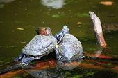 Wildlife- turtles Sunbathing on a Log animal poster