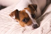Jack Russell Terrier Dog Puppy Rests on Pillow poster
