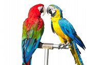 two beautiful bright colored macaws parrots isolated over white background poster