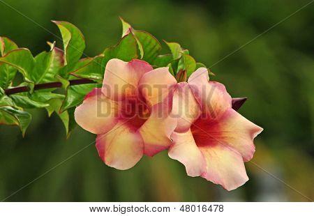 Allamanda flowers