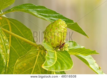 Noni fruit of morinda citrifolia tree
