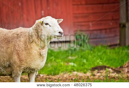 Sheep On Farm